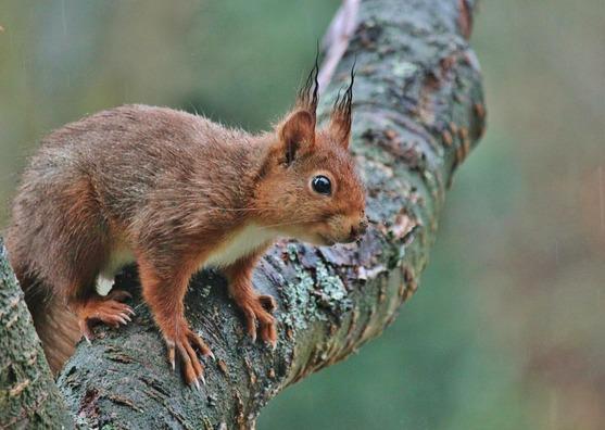 squirrel-603541_960_720
