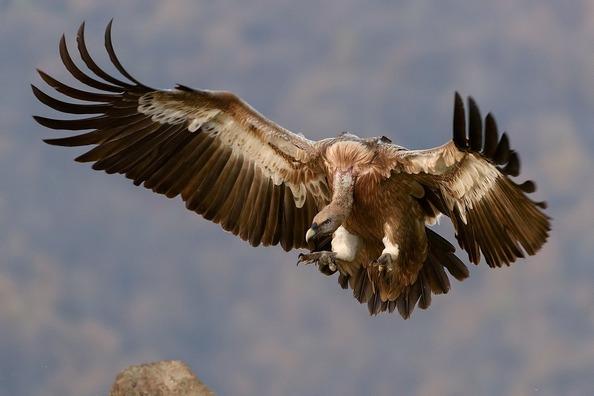 vulture-1209813_1280