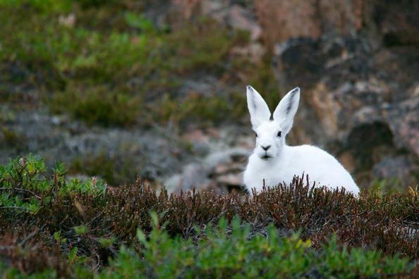 arctic-hare-828994_1920