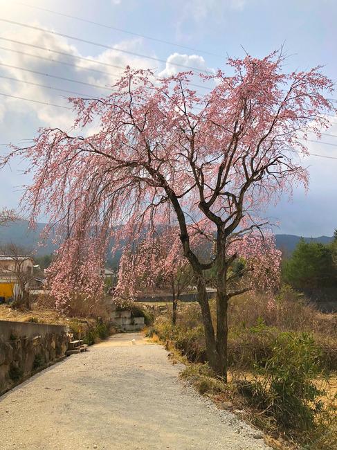 12枝垂れ桜IMG_0122