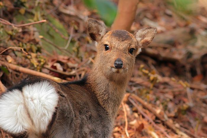 小鹿のバンビ