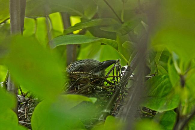 12ヒヨドリ抱卵中IMG_2597