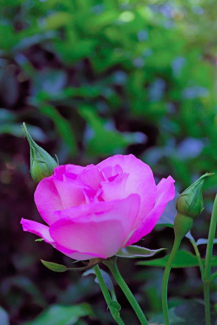 12薔薇IMG_5286