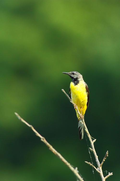 キセキレイ若鳥2