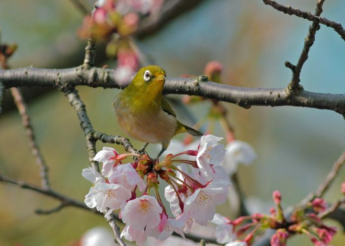 桜メジロ2