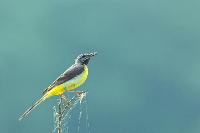 キセキレイ若鳥