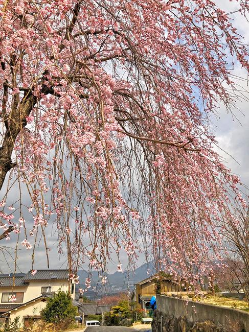 12枝垂れ桜�IMG_0126