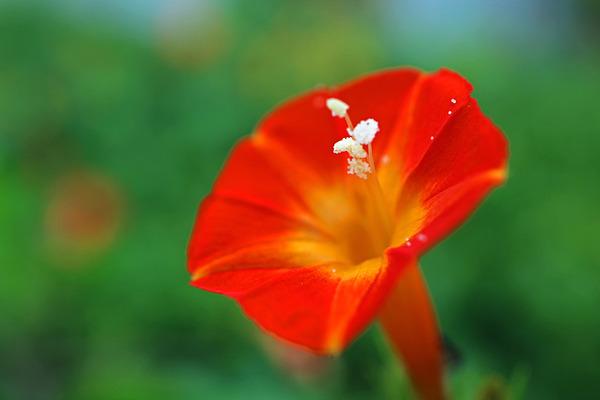 12丸葉縷紅草(まるばるこうそう)IMG_2867