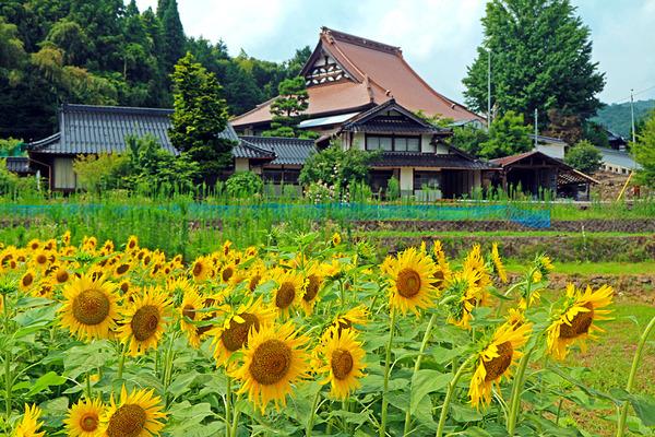 12お寺とヒマワリIMG_2545