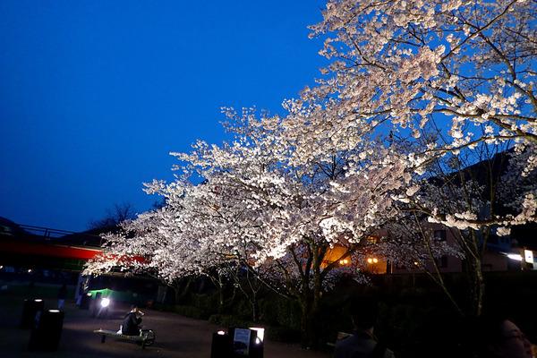 12夜桜P4160851