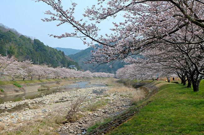 12「美波羅川の千本桜」IMG_4717