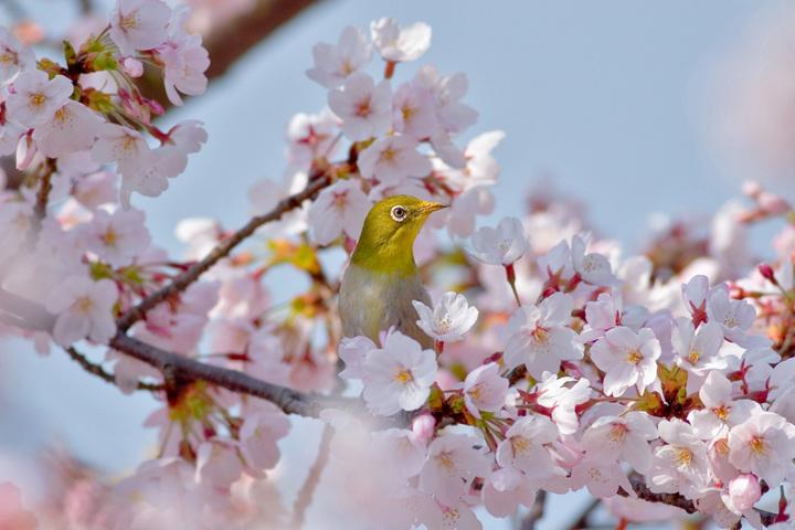 桜満開メジロ