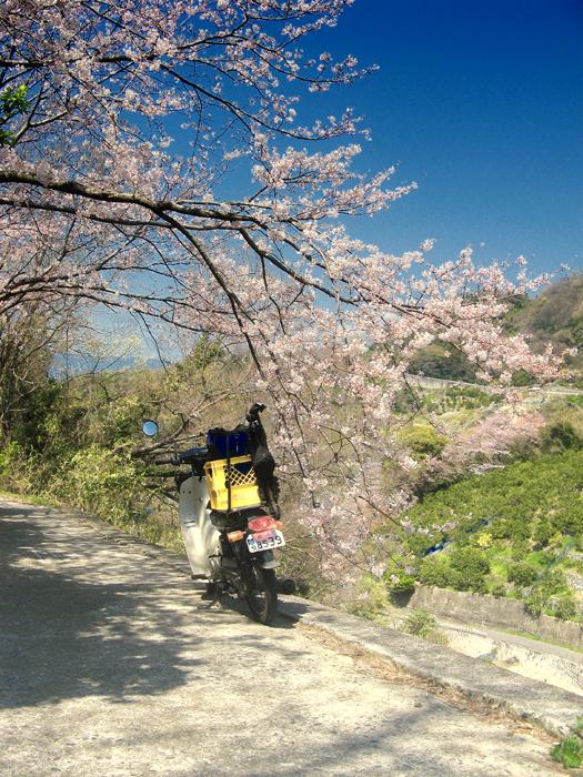 桜とヤマハメイト