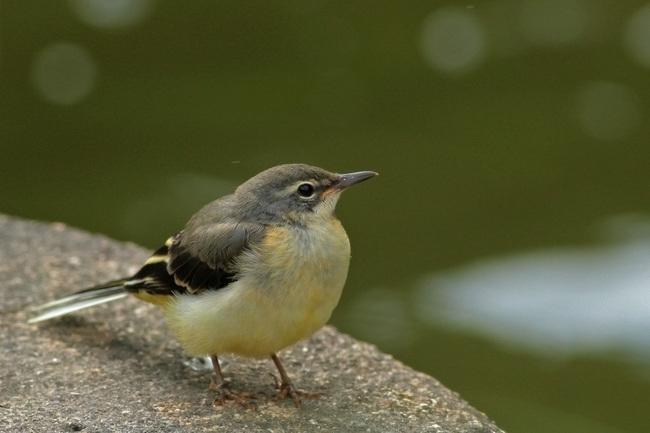 キセキレイ幼鳥