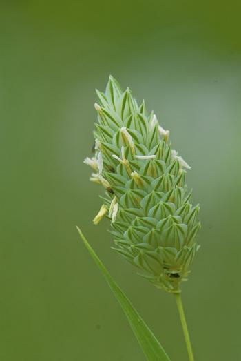 カナリアシードの花