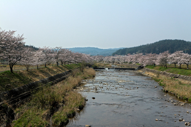 美波羅川の千本桜IMG_4711