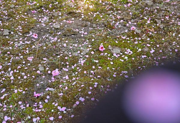 12ぼけ花びらとIMG_4798