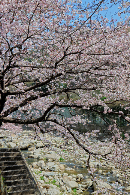 12桜�IMG_4531