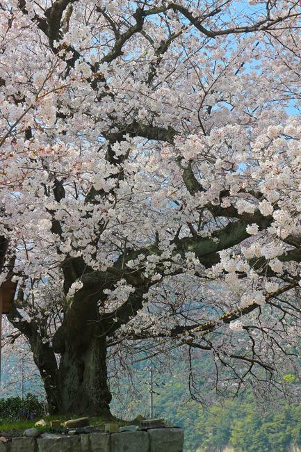 12石内の桜�IMG_4703