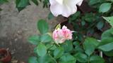 今咲きそうなバラ