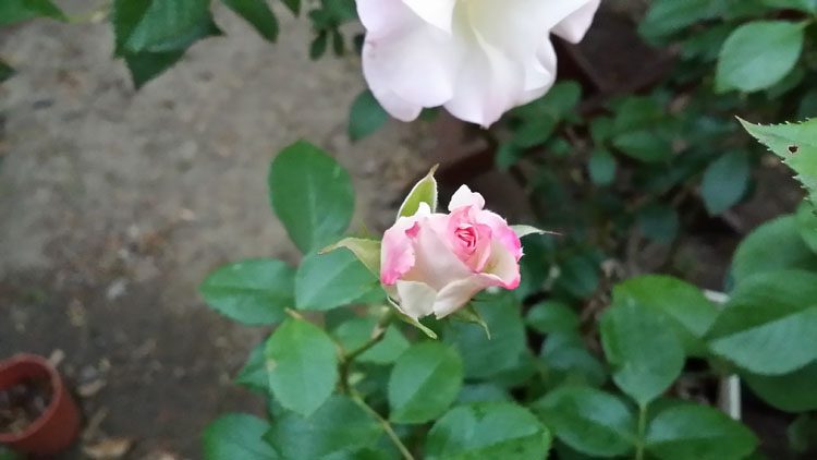 ツボミのバラ
