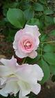 アップの薔薇