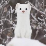 オコジョ。可愛すぎる純白のイタチ科の小動物!