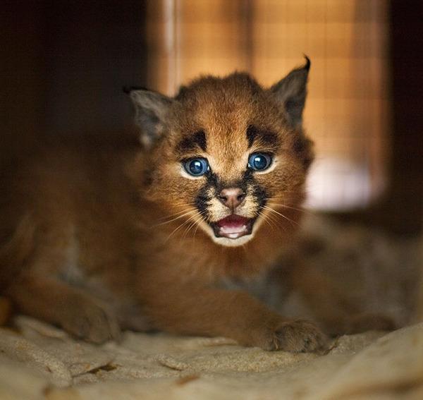 カラカルの画像!麻呂眉と耳の房毛が特徴的なネコ科動物 (26)