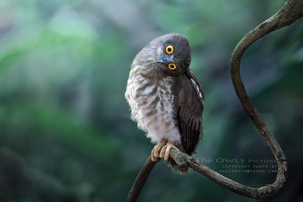 可愛いフクロウの画像 6