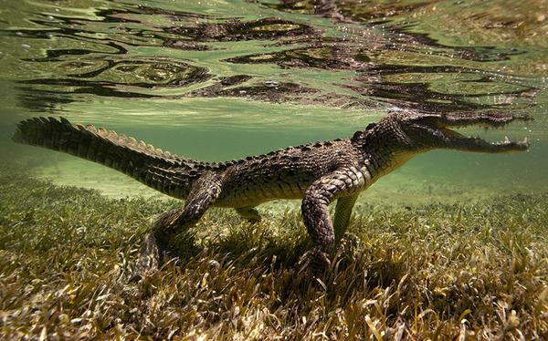 ワニの水中写真 Jorge Cervera Hauser 2