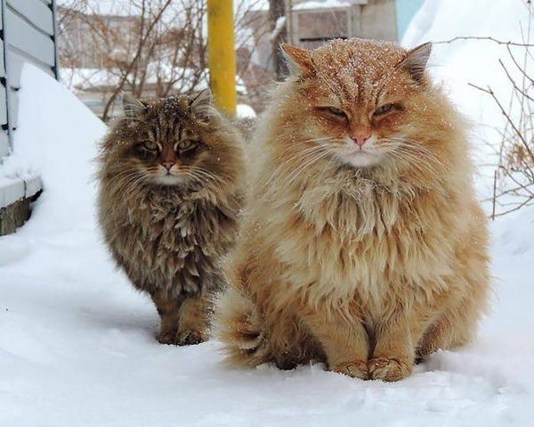 綿菓子フワフワ!モフモフしたくなる長毛種の猫画像 (42)