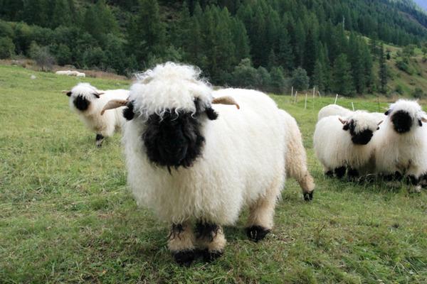 ヴァレーブラックノーズシープ!モフモフな羊 (1)