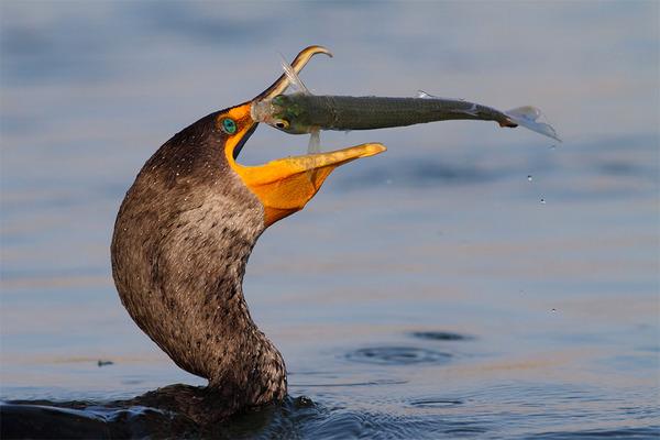 もう逃げられない…!鳥が魚をパックリ食べちゃう瞬間的画像 (1)