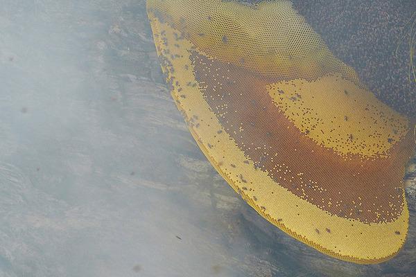 巨大な蜂の巣とのバトル!ネパールの伝統的な蜂蜜ハンター (3)