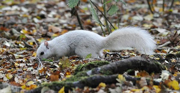 イギリスで真っ白いリスが激写される!アルビノではない白いリス (4)