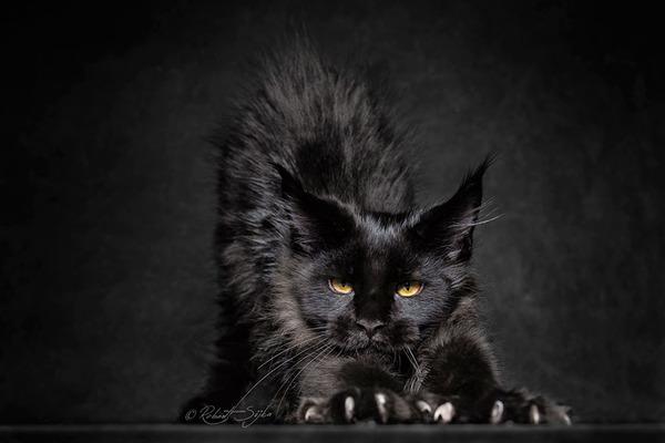 メインクーン画像!気品ある毛並みに威厳ある風貌の猫 (9)