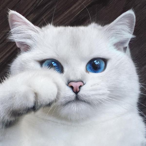 美しい…。綺麗な青い瞳をした白猫が話題!【猫画像】 (4)