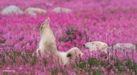 自然の花畑で遊ぶホッキョクグマ!動物も美しい花が好き?