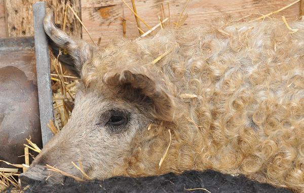 羊みたいな体毛を持った豚『マンガリッツァ』。モフモフ! (22)
