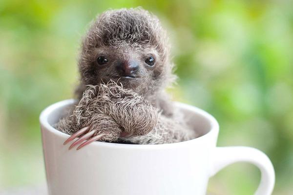 癒し系動物ナマケモノの赤ちゃんが超かわいい画像 (15)