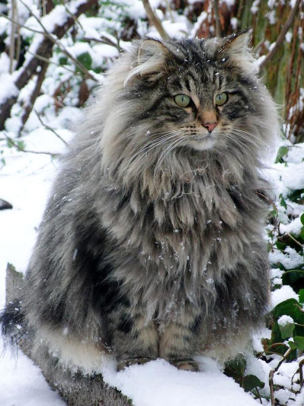 綿菓子フワフワ!モフモフしたくなる長毛種の猫画像 (38)
