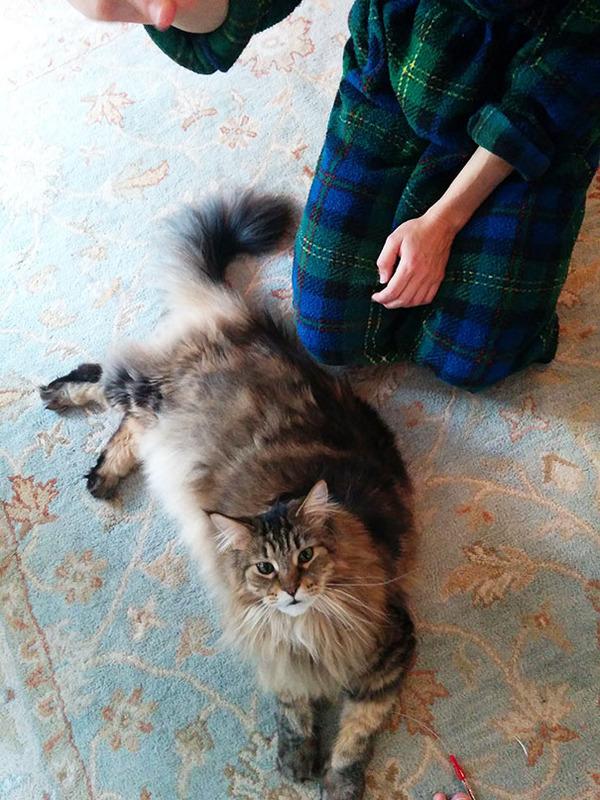 でかすぎる!大型のイエネコ長毛種メインクーン画像【猫】 (8)