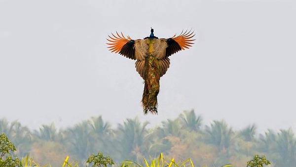 孔雀が飛ぶ姿が神々しすぎる…!空飛ぶクジャクの画像 (5)