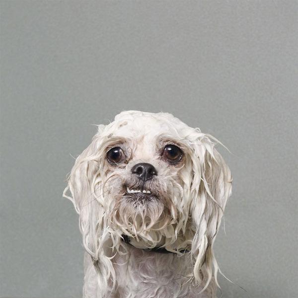 洗い立てだぜ!濡れた犬の写真シリーズ『Wet Dog』 (4)