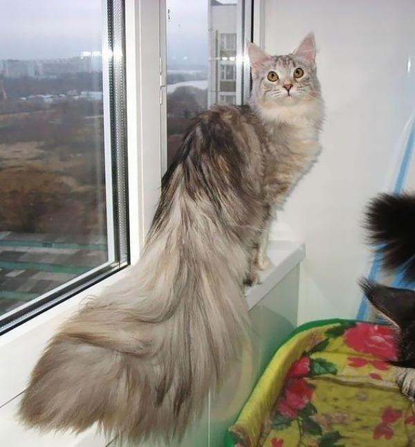 でかすぎる!大型のイエネコ長毛種メインクーン画像【猫】 (32)