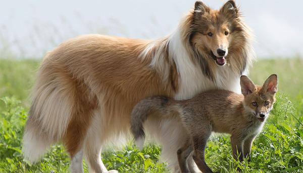 コリー犬 Zivaは、まるで里親の母親代わりのようだ、と飼い主夫婦は語る