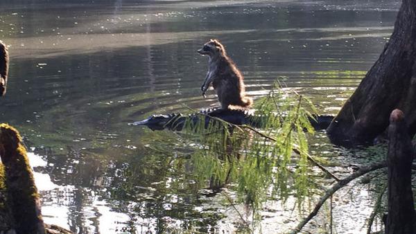 ワニの背中に乗るアライグマ