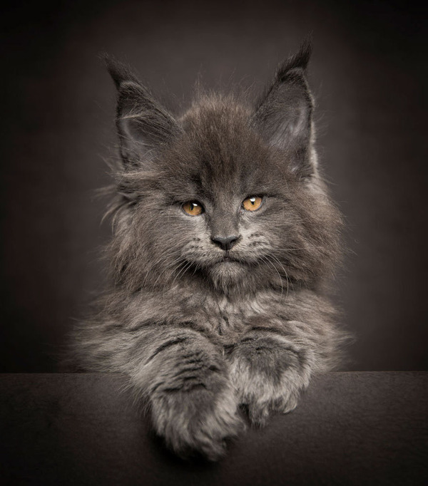 メインクーン画像!気品ある毛並みに威厳ある風貌の猫 (24)