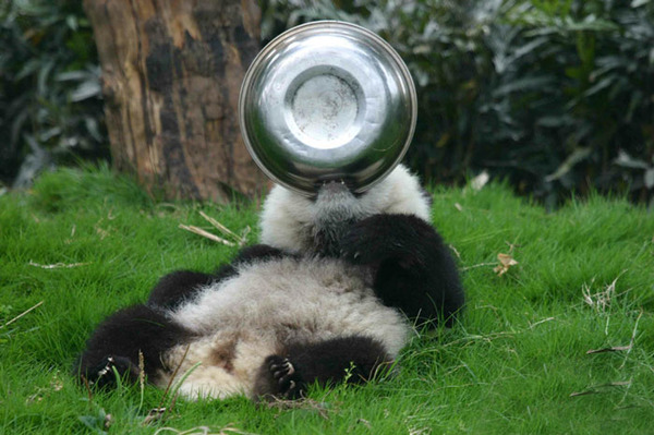 かわいいジャイアントパンダの画像 11