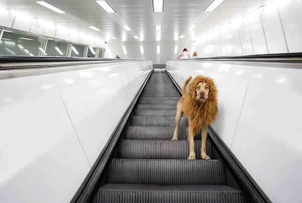 ライオン…の格好をしたわんこが街をさまよい歩く!【犬画像】 (2)